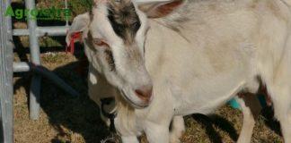 koze i kozji sir