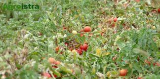 rajčica - pomidor