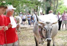 istarsko govedo